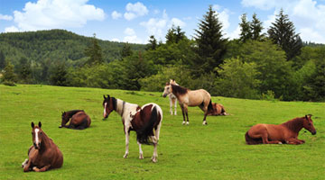 Horses Relaxing in the Pasture